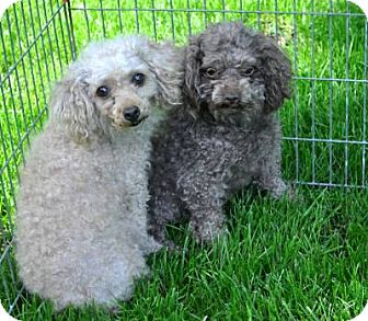 Poodle (Toy or Tea Cup) Dog for adoption in Elk River, Minnesota - COLA AND PEBBLES
