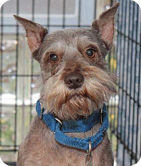 Miniature Schnauzer Dog for adoption in Berea, Ohio - Jimi