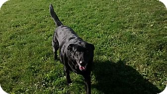 Labrador Retriever Mix Dog for adoption in Hamilton, Ontario - Lindy