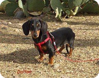 Dachshund Puppy for adoption in Chandler, Arizona - Dalton