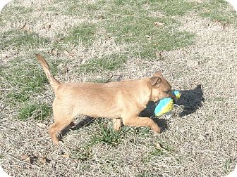Terrier (Unknown Type, Small)/Miniature Pinscher Mix Puppy for adoption in Melbourne, Arkansas - Nugget