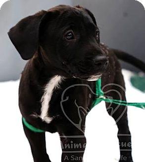 Labrador Retriever/Spaniel (Unknown Type) Mix Puppy for adoption in New Freedom, Pennsylvania - Jacoby(adoption pending)