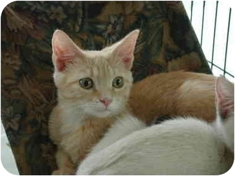Domestic Shorthair Kitten for adoption in Fort Lauderdale, Florida - Rory