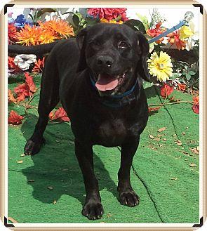 Beagle/Labrador Retriever Mix Dog for adoption in Marietta, Georgia - JERRY (R)