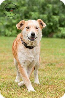 Australian Cattle Dog/Clumber Spaniel Mix Dog for adoption in Sauk Rapids, Minnesota - Pilgrim
