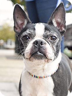 Boston Terrier Mix Dog for adoption in Homewood, Alabama - Macy