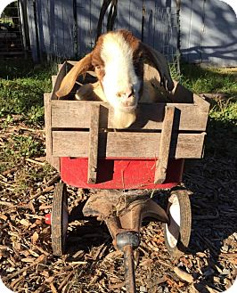 Goat for adoption in Maple Valley, Washington - Duncan