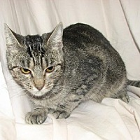 Domestic Shorthair Cat for adoption in Fort Walton Beach, Florida - Elvira