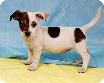 Dachshund/Beagle Mix Puppy for adoption in Maynardville, Tennessee - Daisy May