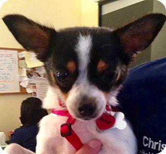 Rat Terrier Dog for adoption in Hockessin, Delaware - Janet