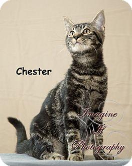 Domestic Shorthair Kitten for adoption in Oklahoma City, Oklahoma - Chester