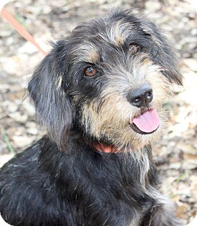 Schnauzer (Miniature)/Terrier (Unknown Type, Small) Mix Dog for adoption in Madison, Wisconsin - HARRIET