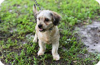 Poodle (Miniature) Mix Dog for adoption in Jupiter, Florida - A