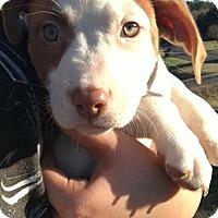 Adopt A Pet :: Carmen - Albemarle, NC