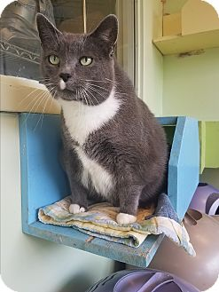 Domestic Shorthair Cat for adoption in Indianapolis, Indiana - Little Face