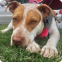Adopt A Pet :: Gigi - CUMMING, GA