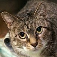 Adopt A Pet :: Miss Kitty - Medford, MA