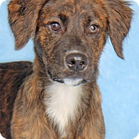 Adopt A Pet :: Raggedy Ann - Encinitas, CA