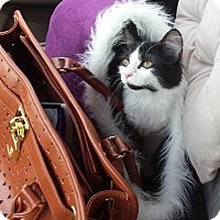Domestic Longhair Cat for adoption in Memphis, Tennessee - Belle Pepper