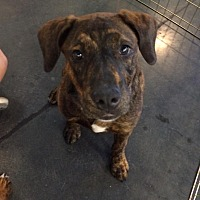 Shepherd (Unknown Type)/Cattle Dog Mix Puppy for adoption in Chandler, Arizona - Taffy