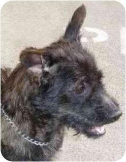 Scottie, Scottish Terrier Mix Dog for adoption in Berkeley, California - Brownie