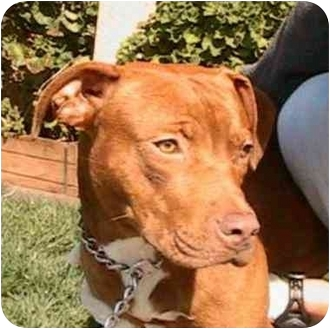 American Pit Bull Terrier Mix Dog for adoption in Berkeley, California - Punkin