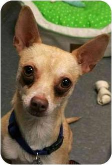 Chihuahua Dog for adoption in Phoenix, Oregon - Amigo