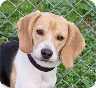 Beagle Dog for adoption in Portland, Oregon - Porsche