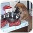 Photo 1 - German Shepherd Dog/Golden Retriever Mix Puppy for adoption in West Los Angeles, California - Boozle