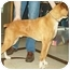 Photo 3 - Boxer Dog for adoption in North Judson, Indiana - Norris