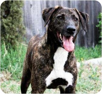 Dutch Shepherd/Labrador Retriever Mix Dog for adoption in Austin, Texas - Oakley