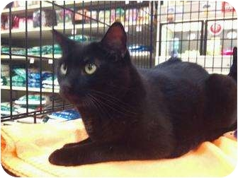 Domestic Shorthair Cat for adoption in Modesto, California - Inky