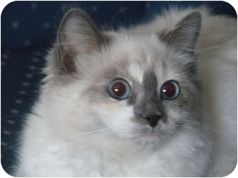 Birman Kitten for adoption in Davis, California - Echo