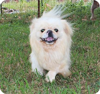 Pekingese Dog for adoption in Hagerstown, Maryland - Pete