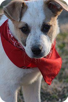Border Collie Mix Puppy for adoption in Glastonbury, Connecticut - Chuck