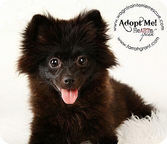 Pomeranian Puppy for adoption in Omaha, Nebraska - CeCe