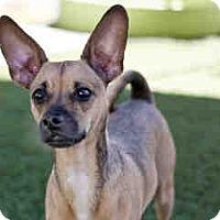Adopt A Pet :: Bleu - Agoura, CA