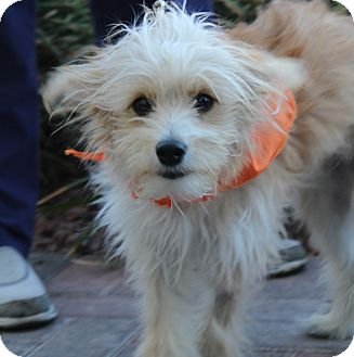 Cairn Terrier/Spitz (Unknown Type, Small) Mix Dog for adoption in Las Vegas, Nevada - HARRY POTTER