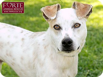 Pointer/Jack Russell Terrier Mix Dog for adoption in Marina del Rey, California - Joey