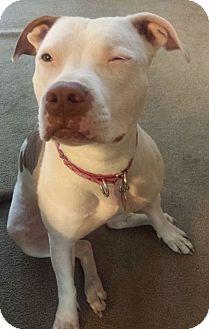 American Pit Bull Terrier Mix Dog for adoption in Spokane, Washington - Bella