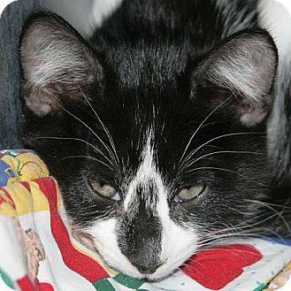 Domestic Shorthair Kitten for adoption in Port Angeles, Washington - Carlton