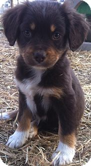 Basset Griffon Vendeen/Spaniel (Unknown Type) Mix Puppy for adoption in Kittery, Maine - Lily