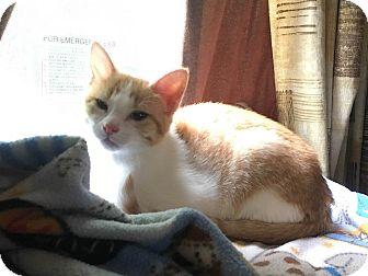 Domestic Shorthair Kitten for adoption in North Wilkesboro, North Carolina - Minnie