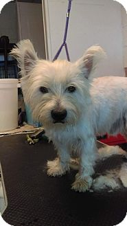 Westie, West Highland White Terrier Dog for adoption in Frisco, Texas - ACE IS ADOPTED