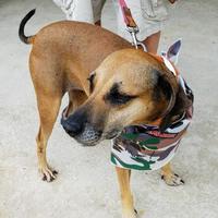 Adopt A Pet :: Maggie - New Smyrna beach, FL