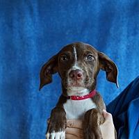 Adopt A Pet :: Sierra - Oviedo, FL
