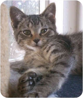 American Shorthair Kitten for adoption in La Jolla, California - Houdini