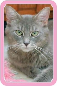 Domestic Mediumhair Cat for adoption in Sterling Heights, Michigan - Blueberry - ADOPTED!