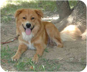 Golden Retriever/Collie Mix Dog for adoption in kennebunkport, Maine - Beethoven