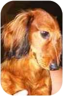 Dachshund Dog for adoption in Tucson, Arizona - Levi